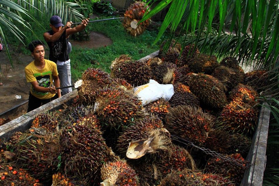 Penurunan Harga CPO Malaysia masih Berlanjut pada Perdagangan Hari ini